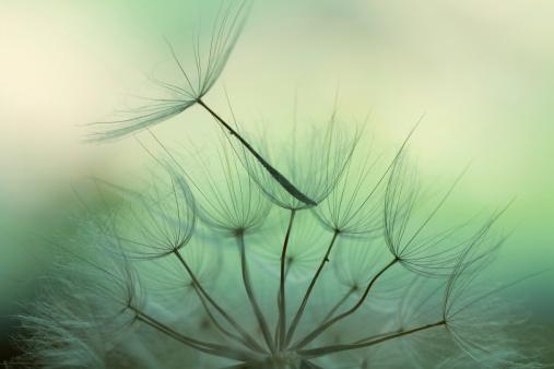 Wildflower「Dandelion seed」:スマホ壁紙(4)
