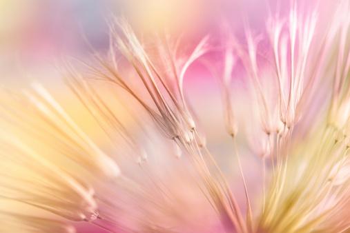 Wildflower「Dandelion seed」:スマホ壁紙(9)