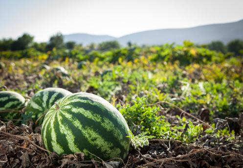Vine - Plant「Watermelon」:スマホ壁紙(7)