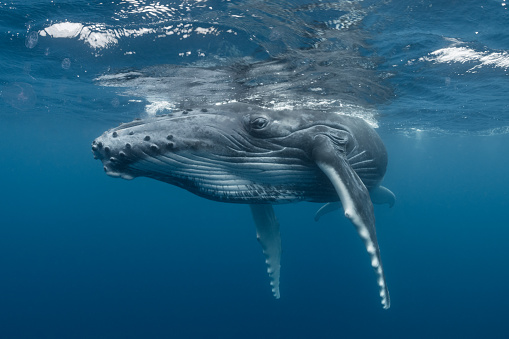 Baby animal「Humpback Whale Calf Relaxing at the Surface」:スマホ壁紙(2)