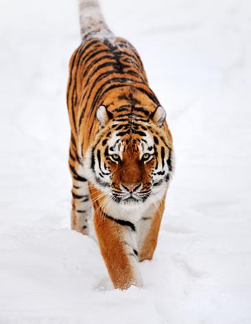 Tiger「running tiger in snow」:スマホ壁紙(14)