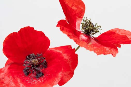 Wildflower「Poppy on white background」:スマホ壁紙(8)