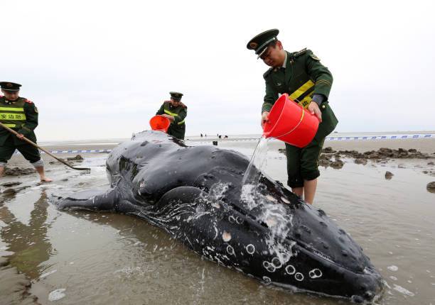 Pouring「Rescuers Save Stranded Humpback Whale In Qidong」:写真・画像(10)[壁紙.com]