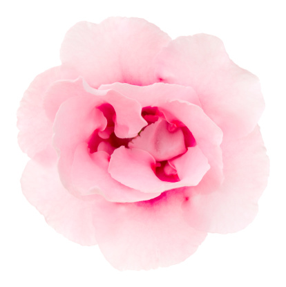 Wildflower「Gloxinia」:スマホ壁紙(5)