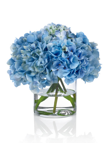 Hydrangea「Blue Hydrangeas on a white background」:スマホ壁紙(13)