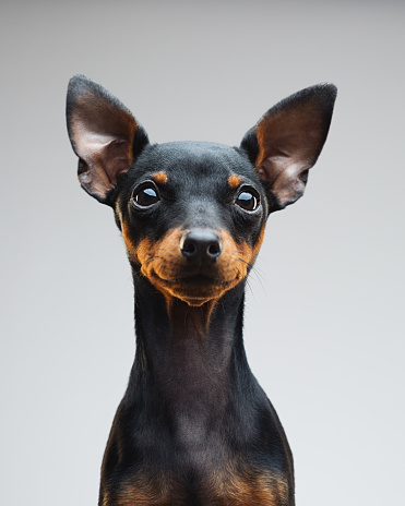 Animal Head「Cute puppy of miniature pinscher dog」:スマホ壁紙(12)