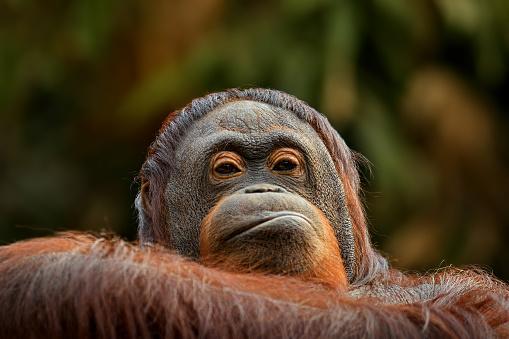 Making A Face「angry orangutan」:スマホ壁紙(14)