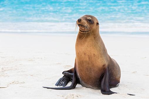 Sea Lion「Ecuador, Galapagos Islands, Espanola, Gardner Bay, sea lion on sandy beach at seafront」:スマホ壁紙(4)