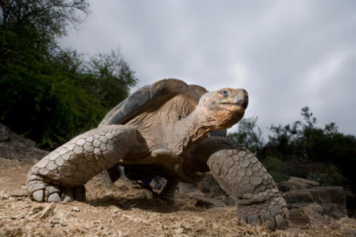 Walking「Ecuador, Galapagos Islands, Santa Cruz Island, Puerto Ayora, Giant GalapagosTortoise (Geochelone elephantopus), low angle view」:スマホ壁紙(12)