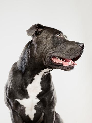 Waist Up「Black pit bull dog sitting portrait」:スマホ壁紙(2)