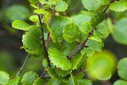 Boreal Forest「Dwarf Birch, Betula nana. Alaska. USA」:スマホ壁紙(18)