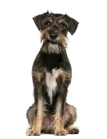 Mixed-Breed Dog「expressive crossbreed dog sitting」:スマホ壁紙(10)