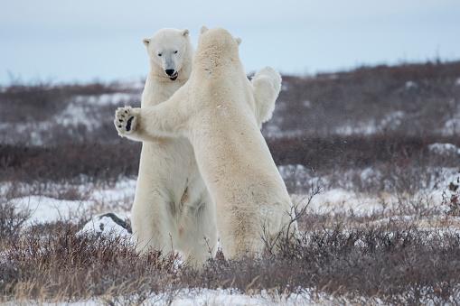 Polar Bear「Polar bears (ursus maritimus) sparring on the coast of Hudson Bay」:スマホ壁紙(3)
