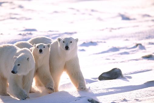 Polar Bear「Polar Bears」:スマホ壁紙(0)