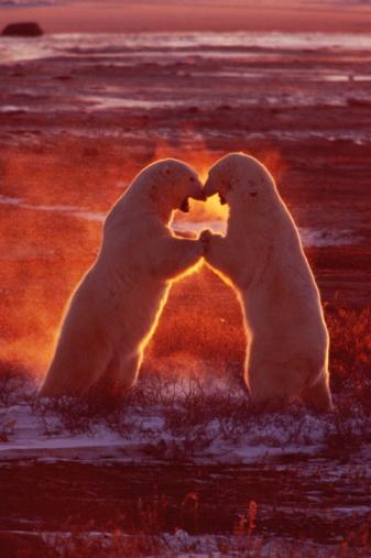 Polar Bear「Polar bears (Ursus maritimus) fighting, dawn, Manitoba, Canada」:スマホ壁紙(16)