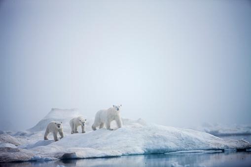 Pack Ice「Polar Bears in Fog, Hudson Bay, Nunavut, Canada」:スマホ壁紙(15)