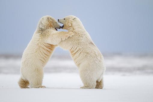 Polar Bear「Polar bears play fighting」:スマホ壁紙(18)