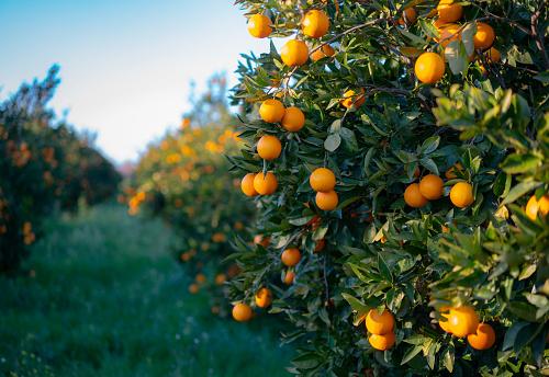 Orange - Fruit「Oranges growing on tree orchard」:スマホ壁紙(17)