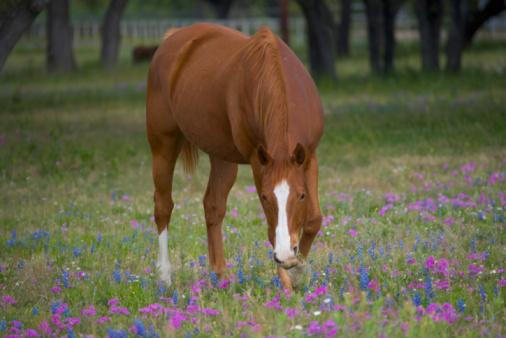 Wildflower「Quarter horse grazing in field of Texas bluebonnets and phlox, spring」:スマホ壁紙(7)