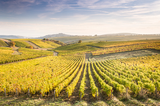 French Culture「Dawn in the vineyards of Sancerre, France.」:スマホ壁紙(9)