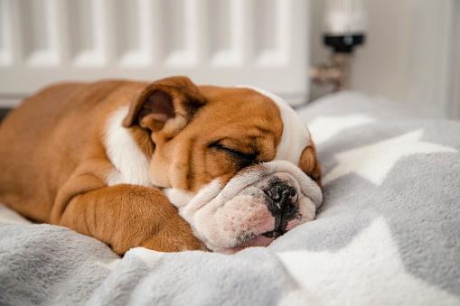 Puppy「British Bulldog Sleeping」:スマホ壁紙(7)