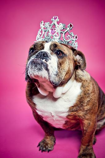 Crown - Headwear「British Bulldog Pink Princess」:スマホ壁紙(19)