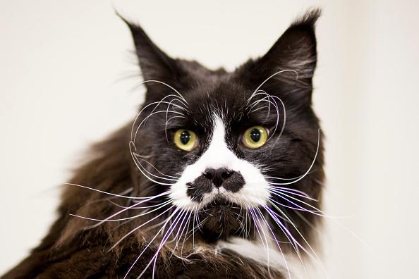 Purebred Cat「The Feline World Gathers For The Supreme Cat Show 2015」:写真・画像(7)[壁紙.com]