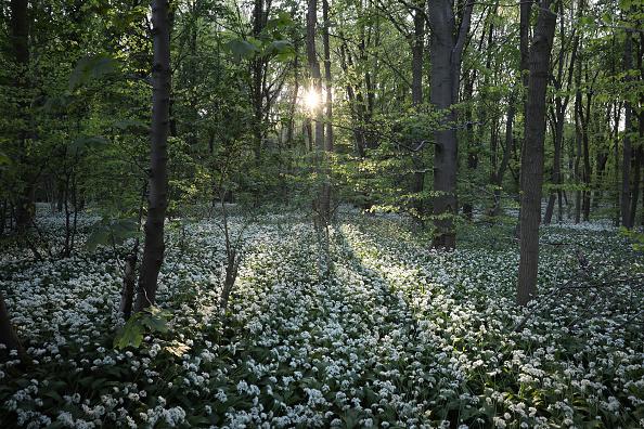 Forest「Flowering Garlic Covers Woodland Floor」:写真・画像(6)[壁紙.com]