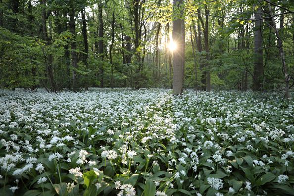 環境「Flowering Garlic Covers Woodland Floor」:写真・画像(0)[壁紙.com]