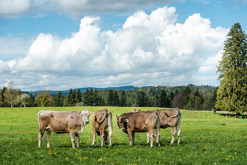 Belgium「cows standing in grassy field」:スマホ壁紙(18)