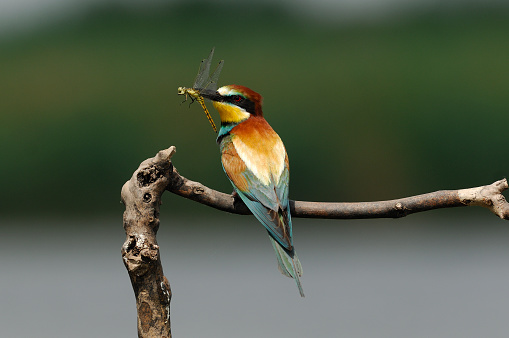 Dragonfly「European bee-eater with dragonfly (Merops apiaster)」:スマホ壁紙(19)