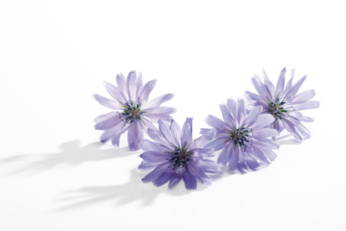 Wildflower「Chicory flower」:スマホ壁紙(17)