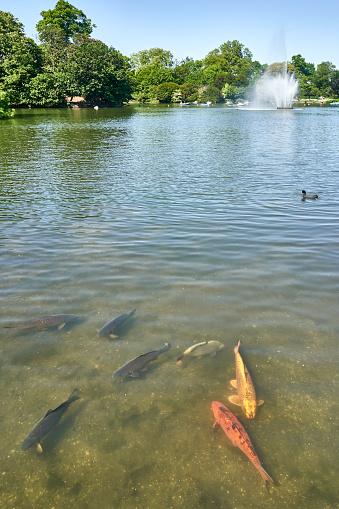 Carp「Koi Carp in the lake at Victoria Park in East London, UK」:スマホ壁紙(7)
