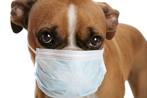Boxer - Dog「Boxer dog with a flu mask on its snout」:スマホ壁紙(7)