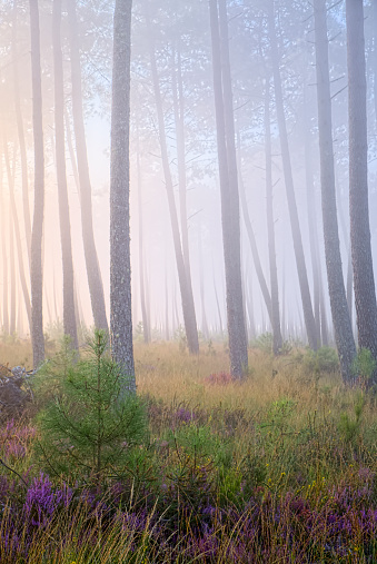 Nouvelle-Aquitaine「France, Aquitaine, Landes, Pine forest in the morning light」:スマホ壁紙(7)