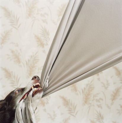 Mischief「Border collie pulling at beige fabric, close-up」:スマホ壁紙(17)