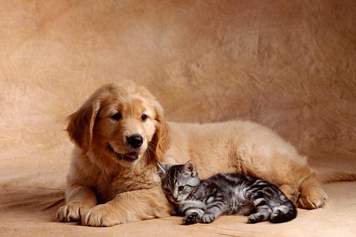Puppy「Kitten Leaning Against Golden Retriever Puppy」:スマホ壁紙(15)