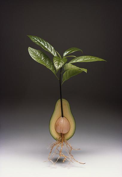Avocado「Avocado In Section」:写真・画像(5)[壁紙.com]