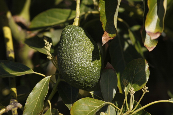 Avocado「Restaurant Chain Chipotle Warns Climate Change Could Force Guacamole Off Their Menu」:写真・画像(16)[壁紙.com]