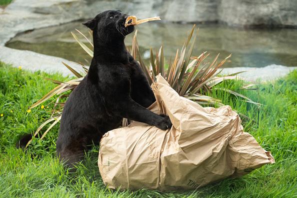 Animal「Caring For Big Cats Amid The Coronavirus Pandemic」:写真・画像(10)[壁紙.com]