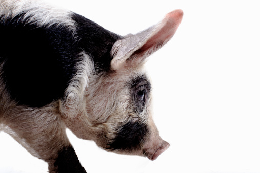 Animal Head「Gloucestershire Old Spot pig」:スマホ壁紙(6)