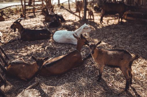 Goatee「Group of goats」:スマホ壁紙(13)