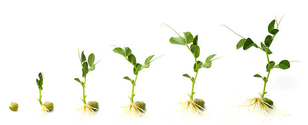 Graphic shows development of pea plant from when it sprouts:スマホ壁紙(壁紙.com)
