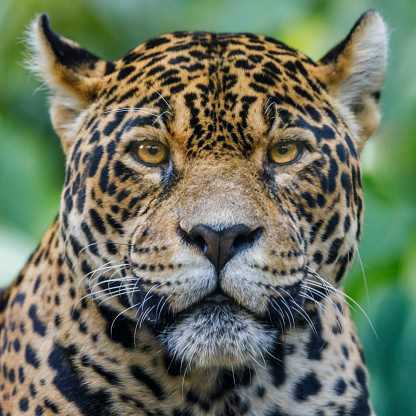 Face To Face「Jaguar looking at camera - Pantanal wetlands, Brazil」:スマホ壁紙(15)