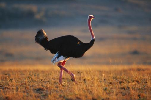 Walking「Masai ostrich (Struthio camelus) watching, side view, Masai Mara, Kenya」:スマホ壁紙(1)
