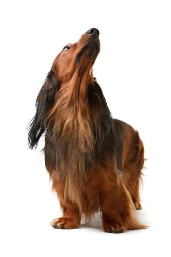 Long Hair「long haired badger dog」:スマホ壁紙(3)