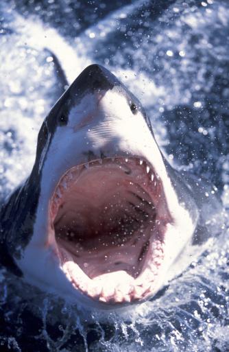 Animal Head「AUSTRALIA, GREAT WHITE SHARK, CLOSE-UP」:スマホ壁紙(16)