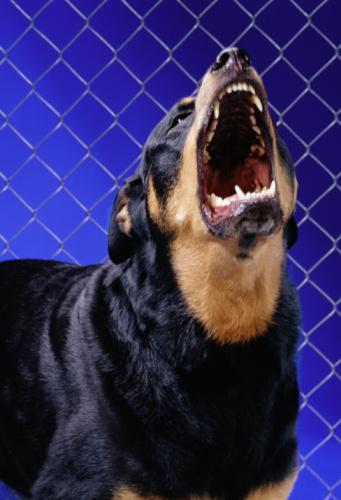Rottweiler「ROTTWEILER BARKING (BLUE FENCE)」:スマホ壁紙(19)