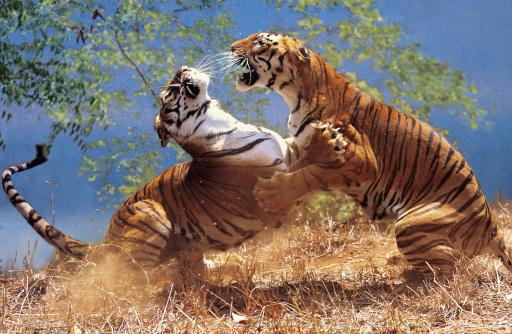 Tiger「TWO TIGERS (PANTHERA TIGRIS) FIGHTING」:スマホ壁紙(4)
