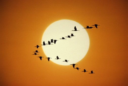 Flock Of Birds「BIRDS AND SUNRISE, SPOONBILLS IN TEXAS, USA」:スマホ壁紙(13)